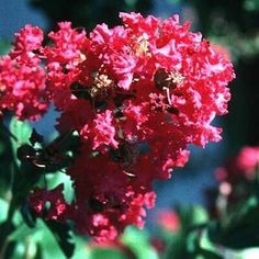Lagerstroemia indica Beckys Watermelon Red  Height: 12-15 Feet Spread: 4-6 Feet Hardiness Zone: 6-9