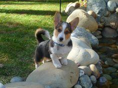 Pogo the puppy! Super cute tri-color Welsh Cardigan Corgi.