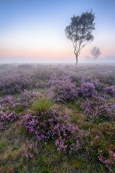 The birches on the Strabrechtse heide on a foggy summer morning. The cloudless sky turned into a colorful gradient just before sunrise. Landscape Photography, Nature Photography, Photo Tree, Fantasy World, Beautiful Sunset, Nature Scenes, Nature Pictures, Mother Earth, Trees To Plant