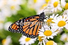 Colorful monarch butterfly sitting on chamomile flowers