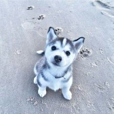 I can't wait until I can have a Husky.  I think it will make a great PTSD…