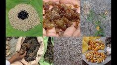 Tribal Medicines of Gandhamardan Hills for Cissus- Apium Toxicity: Film ...