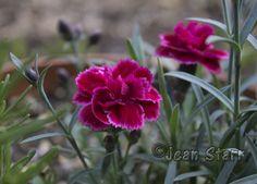 Dianthus 'Endless Love Lavender Eye' Pink Hardy Perennial ...