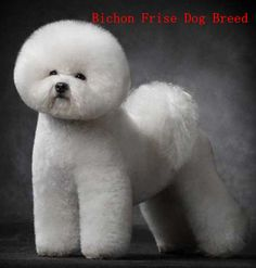 Bichon Frise Looking so neat after a trip to the groomer. Description from pinterest.com. I searched for this on bing.com/images