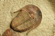 Harpides sp Order Harpetida, Family Harpididae and Asaphellus fezouataensis Lower Fezouata. Fm., Lower Ordovician.,  Beni Zoli, Draa Valley, Morocco