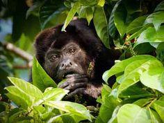 Howler monkey at Golfo Dulce in Costa Rica. ©Jose Calvo