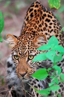 South Luangwa National Park, South Africa - Such intense eyes!