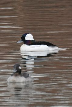 Saw a Bufflehead scooting along while on a hike Friday. Great way to start the day...