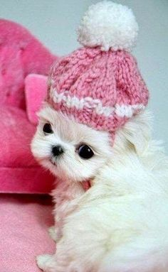 Teacup puppies may be tiny, but the responsibility of owning one is anything but. Teacup puppies may be tiny, but the responsibility of owning one is anything but. Puppies For Sale, Cute Puppies, Cute Dogs, Poodle Puppies, Cute Baby Animals, Animals And Pets, I Love Dogs, Puppy Love, Teacup Puppies