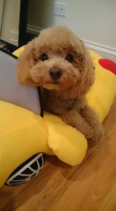 Toby, apricot toy poodle Cute Puppies, Cute Dogs, Poodle Puppies, Mini Poodles, Toy Poodles, Poodle Haircut, Poodle Cuts, Tea Cup Poodle, Teddy Bear Toys