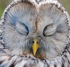 Viirupöllö by mattisj.  Nesting Ural owl, female.