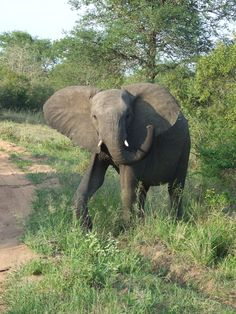 Elephant in Timbavati Game reserve