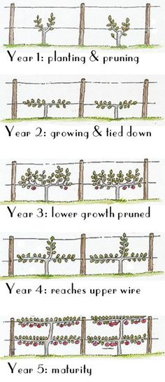 "Espalier time chart: Espalier is a French word that originally meant ""something to rest the shoulder against""; but it now refers to the practice of training woody plants/trees in a shape that makes it easier to get to the fruit and saves much space in the garden."