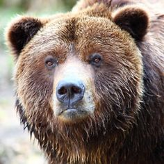 Grizzly Bear - Yellowstone Animal