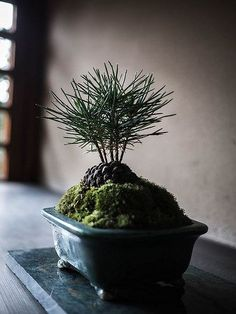 "In bonsai growing, the slanting style is one of several styles that are used to shape and ""train"" the bonsai tree. Bonsai Plants, Bonsai Garden, Garden Plants, Indoor Plants, Bonsai Trees, Vegetable Garden, Indoor Gardening Supplies, Container Gardening, Gardening Tips"