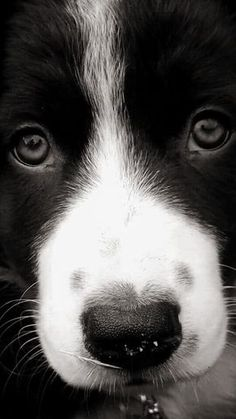 Astounding Border Collie Dog Tips Ideas Cute Puppies, Cute Dogs, Dogs And Puppies, Doggies, Dogs 101, Photo Animaliere, Herding Dogs, Collie Dog, Border Collie Puppies