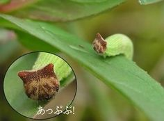 Hello Kitty Caterpillar - This is actually the caterpillar form of the Chinese Bush Brown Butterfly (Mycalesis gotama), but that face is familiar all over the world as Hello Kitty. As you can probably imagine, these cute caterpillars are quite the hit in Japan, the caterpillars' native region. Read more at http://www.oddee.com/item_98752.aspx#HxOSiDaEiOcE1d44.99