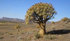 aloe dichotoma - Google Search Cactus, Plants, Google Search, Rare Plants, Strange Flowers, Plant, Planets