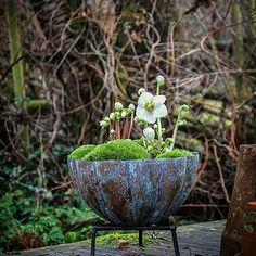 Rosa d'inverno❄️#elleboro #inverno #natale #nature #natural #naturephotography #flowers #fleurs #fiori #cute#idearegalo #nice#garden #giardino #jardin #marinacanazzad #