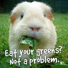 Guinea Pig: Eat your greens? Not a problem. remembering Petunia and Gypsy...squeak, squeak!