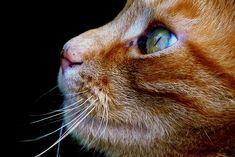 Kedi, Evcil Hayvan, Hayvan, Yerli Kedi, Kedi Yüz
