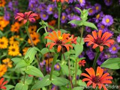 Zinnia tenuifolia 'Red Spider' with Zinnia 'Profusion Orange' and Aster novae-angliae 'Hella Lacy'; Nancy J. Ondra at Hayefield