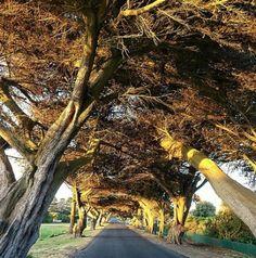 Cypress pine lined road. Port Fairy. Great Oceean Road, Victoria, Australia. Photo: portfairypics
