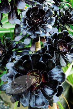 Black flower garden plants -
