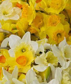 daffodil festival, gloucester, va.