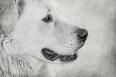 Profile of #Maremma #dog