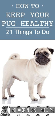 Learn how to keep your Pug healthy so they can live a long life. We'll cover simple things you can do to ensure your dog is not neglected and. Baby Pugs, Baby Puppies, Dogs And Puppies, Bulldog Puppies, Pug Facts, Facts About Pugs, Pug Information, Adult Pug, Old Pug