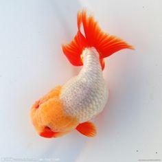 ranchu goldfish | Tumblr