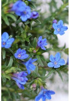 Petite vivace rampante qui garnit parfaitement les sols. Un joli tapis vert faisant ressortir de magnifiques petites fleurs bleu gentiane. Une abondance d'étoiles qui