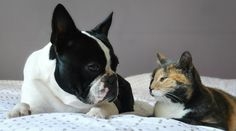 Friendship @yummypets #boston #terrier