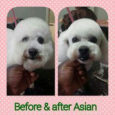 Bichon Frise pet trim, short bichon haircut, Bichon groom