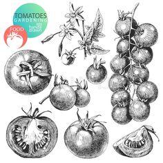 vintage onions clip art - Google Search