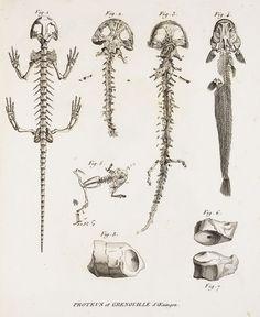 Cuvier's Necturus proteus #mudpuppy #spotted #salamander #amphibian #cuvier #anatomy #vertebrate #skeleton #skull #fish #tetrapod
