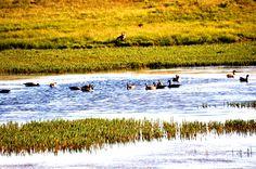 Des canards rentrant d'un long voyage
