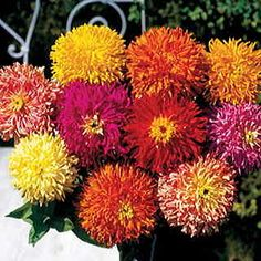 A Zinnia mix from seed of rare, huge-flowered cactus-form blooms of yellow, orange, red, rose, pink, salmon, and white.