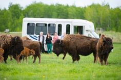 Bison tour at Fort Whyte Alive (Credit: Dan Harper) Win A Trip, Trail, Bison, Canada, Tours, Adventure, History, Safari, Heart