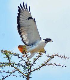 augur buzzard - Google Search