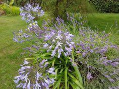 Visites en photos du jardin du Blog Esprit Laïta - Agapanthes  #jardin #jardinage #été #blogjardin #blogjardinage