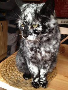 Simplesmente lindo, parece que jogaram farinha num gato preto, mas não, a pelagem dele é assim incrível!!!