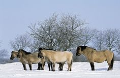 Konik - Hengst, Stuten und Fohlen geniessen die Wintersonne - (Waldtarpan - Rueckzuechtung), Equus ferus caballus - Equus ferus ferus, Heck Horse stallion, mares and foals enjoy the winter sun - (Tarpan - breeding back)