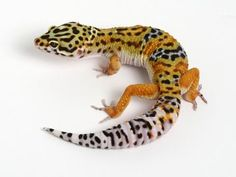 Tangerine X Halloween Mask Leopard Gecko - 051614b - male