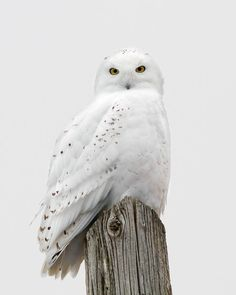 Owls - Snowy Owl Portrait - by Photographer Timothy McIntyre