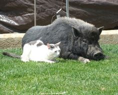 Pot-Bellied Pig Adoption Process - Pig Harmony