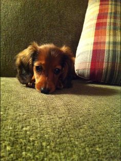 Our little miss mini long haired dachshund.