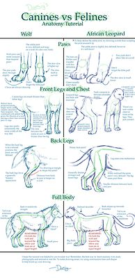 cat dog drawing art wolf cats draw feline vs felines Anatomy wolves dogs Big Cat big cats reference compare comparison tutorial canine tutorials versus canines references juxtaposition compared juxtapose