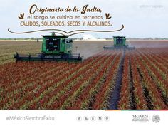 Originario de la India, el sorgo se cultiva en terrenos cálidos, soleados, secos y alcalinos. SAGARPA SAGARPAMX #MéxicoSiembraÉxito